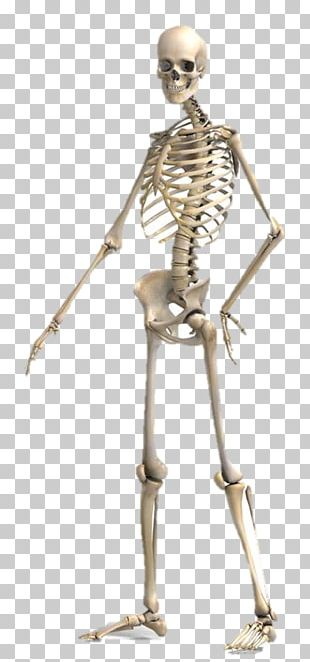Anatomy Human Body Human Skeleton Clipping Path Physiology PNG