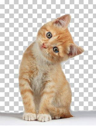 Munchkin Cat Scottish Fold Kitten PNG