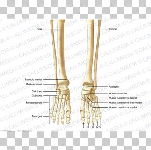 Finger Human Skeleton Bone Foot Human Anatomy PNG