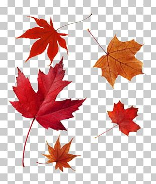 Japanese Maple Autumn Leaf Color Red Maple Maple Leaf PNG