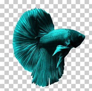 Siamese Fighting Fish Goldfish Aquarium Ornamental Fish PNG