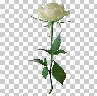 Rose White Flower PNG