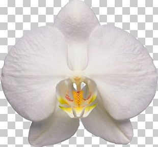 Waling-waling Moth Orchids Flower PNG