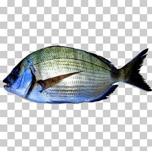 Fish White Seabream Telescope Aquarium PNG