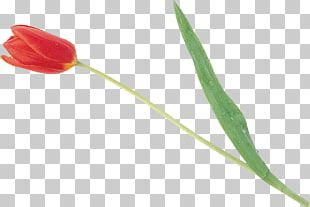 Tulip Petal Plant Stem PNG