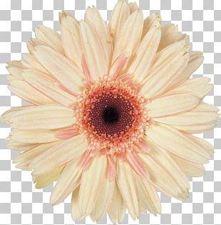 Daisy Family Cut Flowers Transvaal Daisy PNG