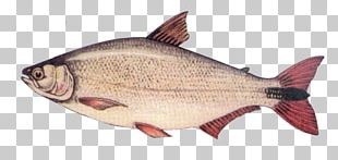 Salmon Fish Products Northern Red Snapper Oily Fish Fauna PNG