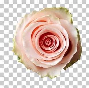 Garden Roses Cut Flowers Cabbage Rose Flower Bouquet PNG