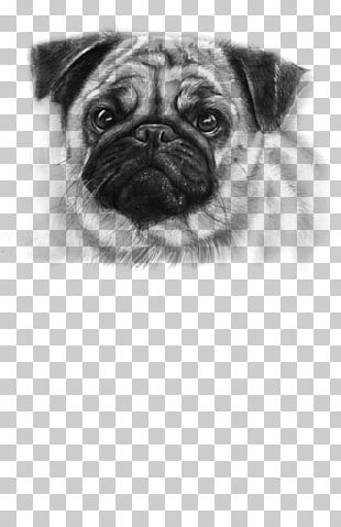 Pug Puppy Drawing Pet Cuteness PNG