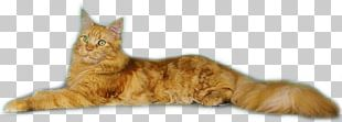 Tabby Cat Maine Coon European Shorthair Domestic Short-haired Cat Kitten PNG