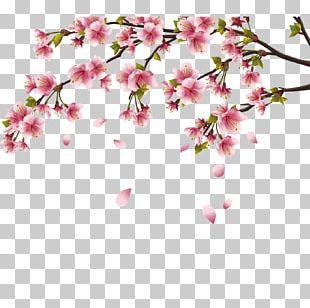 Cherry Blossom Peach Blossom PNG
