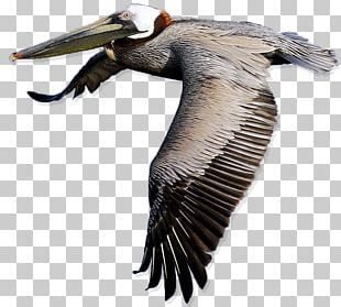 Bird American White Pelican PNG