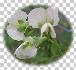 Flowering Plant Violet Family PNG