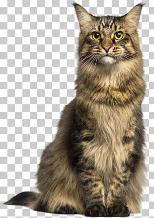 Maine Coon Asian Semi-longhair Norwegian Forest Cat PNG