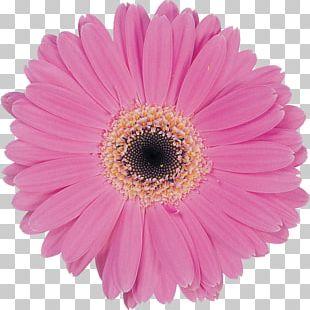 Transvaal Daisy Marguerite Daisy Pastel Daisy Family Common Daisy PNG