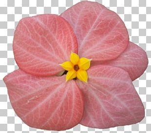 Violet Pink M Violaceae PNG