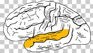 Inferior Frontal Gyrus Superior Frontal Gyrus Frontal Lobe Middle Frontal Gyrus PNG