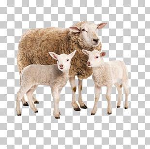 Sheep Boer Goat Livestock Beef Cattle Baka PNG