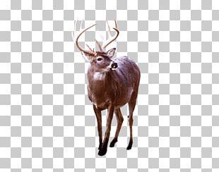 Reindeer Elk White-tailed Deer Antler PNG