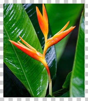 Heliconia Psittacorum Red Flower Heliconia Bihai PNG