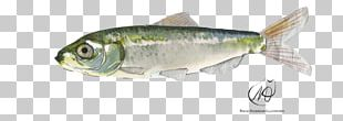 Sardine Herring Perch Oily Fish Fish Products PNG