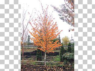 Sugar Maple Tree Shrub Autumn Leaf Color Deciduous PNG
