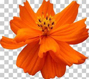 Cosmos Sulphureus Petal Flower PNG