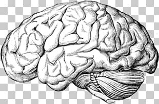 Human Brain A Text-book Of Anatomy Human Body PNG