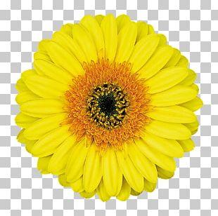 Common Daisy Transvaal Daisy Flower PNG