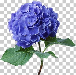 French Hydrangea Flower Seed Color Plant PNG