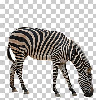 Rhinoceros Giraffe Okapi Zebra Animal PNG