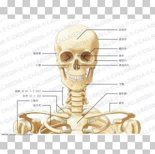 Human Anatomy Neck Bone Coronal Plane PNG