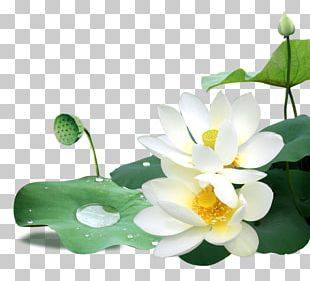 Leaf Sacred Lotus Flower PNG