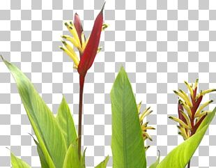Flower Dracaena Draco Succulent Plant Tree PNG