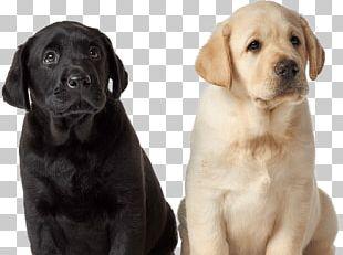 Labrador Retriever Puppy Dog Breed Golden Retriever Companion Dog PNG
