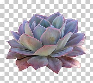 Succulent Plant Cactaceae Desert PNG