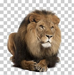 Lionhead Rabbit Stock Photography White Lion PNG