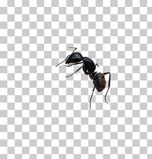 Black Garden Ant Bee Insect PNG
