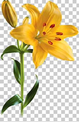 Lilium Flower PNG