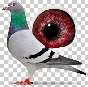 Homing Pigeon Racing Homer Columbidae Bird Beak PNG
