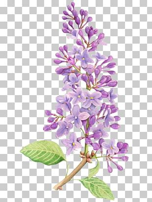 Lilac Flower Drawing Tattoo Watercolor Painting PNG