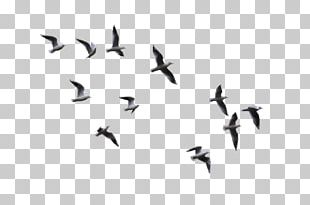 Bird Flight Gulls PNG