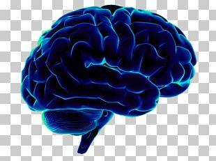 Human Brain Neuroscience Homo Sapiens PNG