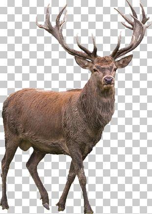 Red Deer Elk Barasingha PNG