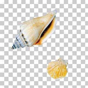 Sea Snail Seashell Conch PNG