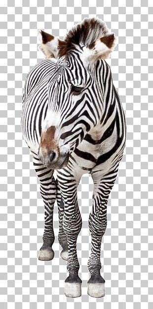 Horse Hinny Quagga Zebra Lexus ES PNG
