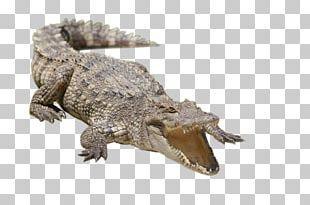 Nile Crocodile Alligator Siamese Crocodile Freshwater Crocodile PNG