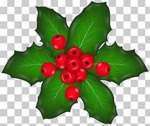 Holly Aquifoliales Fruit Leaf PNG