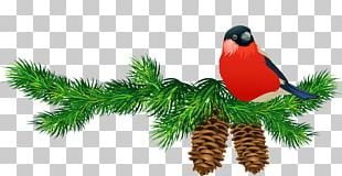 Pine Branch PNG