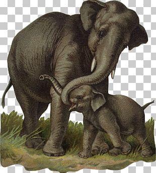 African Bush Elephant Indian Elephant Calf PNG